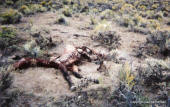 Wild horse colt dead at water hole