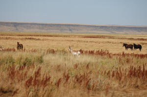 Horses and pronghorn grazing together