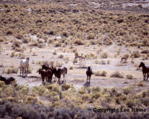 Wild horses in Kobeh Valley